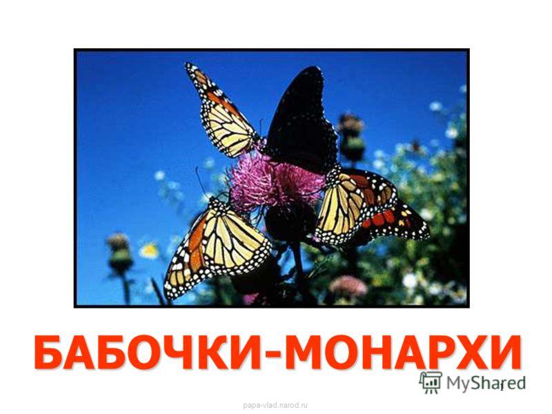 1 БАБОЧКИ-МОНАРХИ Бабочки-монархи papa-vlad.narod.ru