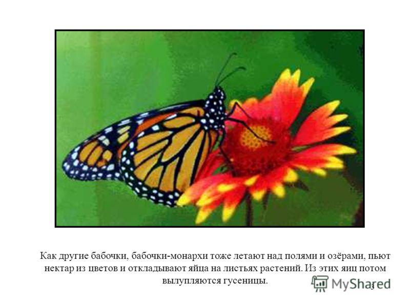 3 Как другие бабочки, бабочки-монархи тоже летают над полями и озёрами, пьют нектар из цветов и откладывают яйца на листьях растений. Из этих яиц потом вылупляются гусеницы.