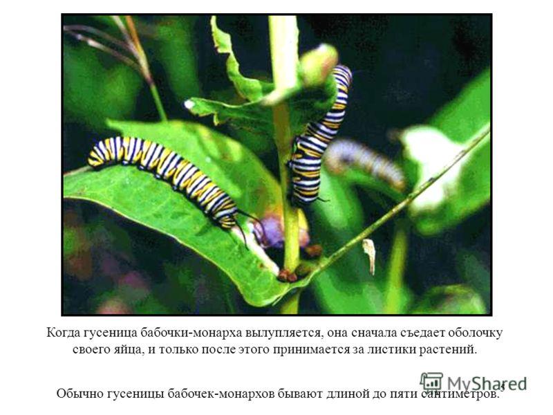 5 Когда гусеница бабочки-монарха вылупляется, она сначала съедает оболочку своего яйца, и только после этого принимается за листики растений. Обычно гусеницы бабочек-монархов бывают длиной до пяти сантиметров. Когда гусеница бабочки- монарха вылупляе