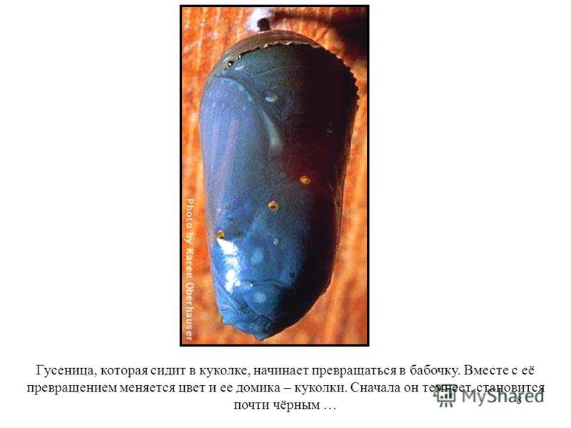 8 Гусеница, которая сидит в куколке, начинает превращаться в бабочку. Вместе с её превращением меняется цвет и ее домика – куколки. Сначала он темнеет, становится почти чёрным …