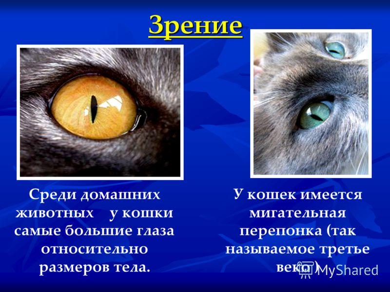 Зрение Среди домашних животных у кошки самые большие глаза относительно размеров тела. У кошек имеется мигательная перепонка (так называемое третье веко )