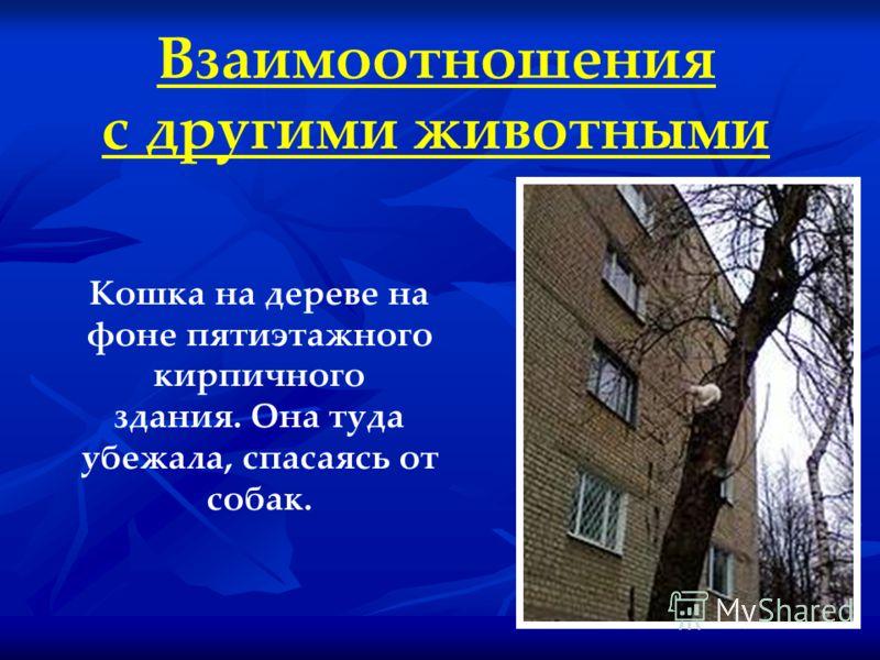 Взаимоотношения с другими животными Кошка на дереве на фоне пятиэтажного кирпичного здания. Она туда убежала, спасаясь от собак.