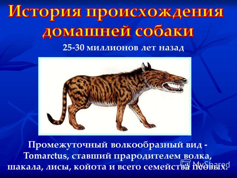 Промежуточный волкообразный вид - Tomarctus, ставший прародителем волка, шакала, лисы, койота и всего семейства псовых. 25-30 миллионов лет назад