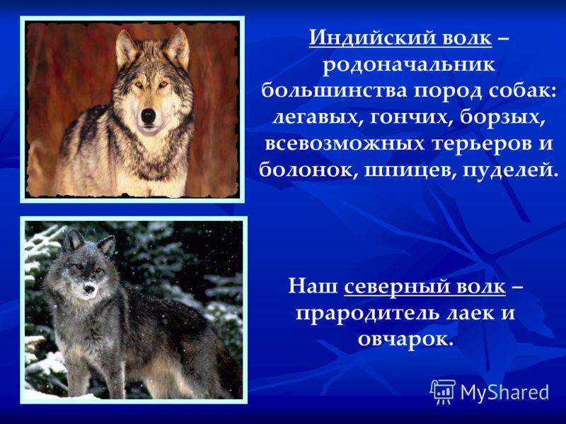 Индийский волк – родоначальник большинства пород собак: легавых, гончих, борзых, всевозможных терьеров и болонок, шпицев, пуделей. Наш северный волк – прародитель лаек и овчарок.