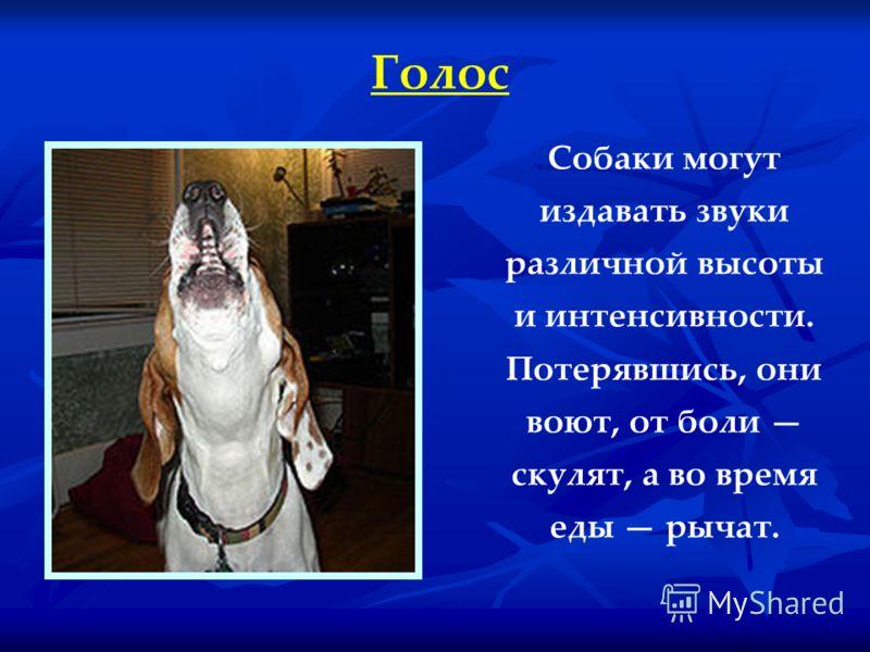 Голос Собаки могут издавать звуки различной высоты и интенсивности. Потерявшись, они воют, от боли скулят, а во время еды рычат.