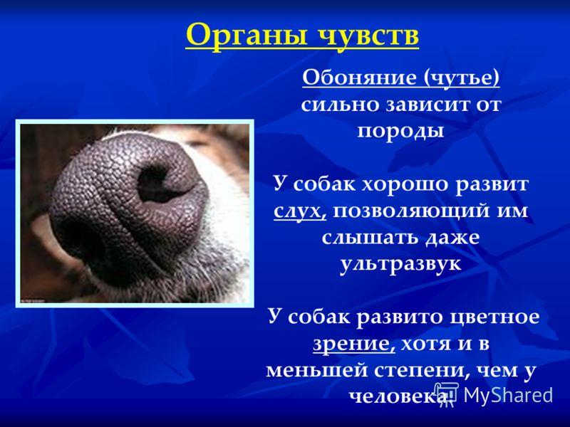 Органы чувств Обоняние (чутье) сильно зависит от породы У собак хорошо развит слух, позволяющий им слышать даже ультразвук У собак развито цветное зрение, хотя и в меньшей степени, чем у человека.