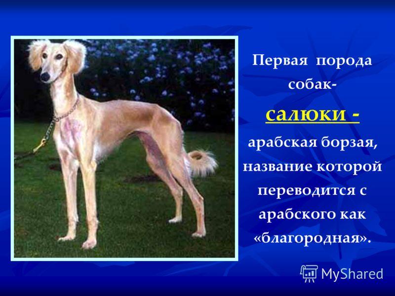 Первая порода собак- салюки - арабская борзая, название которой переводится с арабского как «благородная».