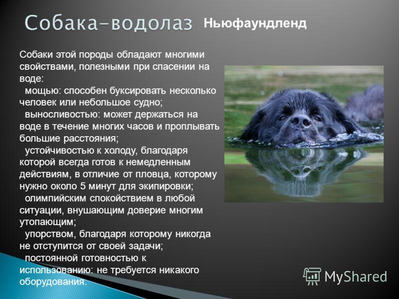 Ньюфаундленд Собаки этой породы обладают многими свойствами, полезными при спасении на воде: мощью: способен буксировать несколько человек или небольшое судно; выносливостью: может держаться на воде в течение многих часов и проплывать большие рассто