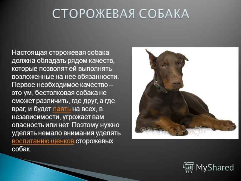 Настоящая сторожевая собака должна обладать рядом качеств, которые позволят ей выполнять возложенные на нее обязанности. Первое необходимое качество – это ум, бестолковая собака не сможет различить, где друг, а где враг, и будет лаять на всех, в неза
