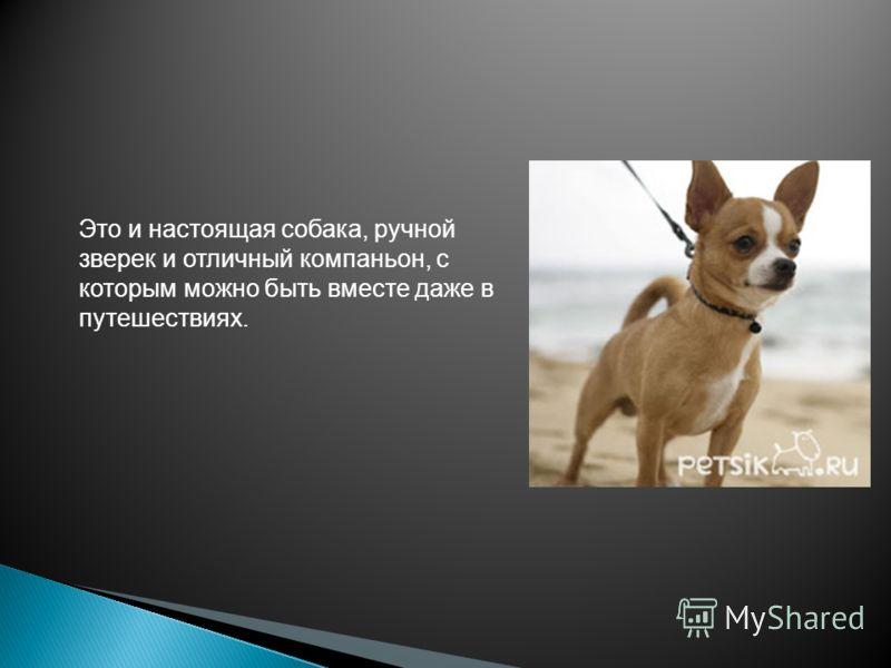 Это и настоящая собака, ручной зверек и отличный компаньон, с которым можно быть вместе даже в путешествиях.