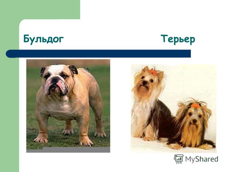 Бульдог Терьер