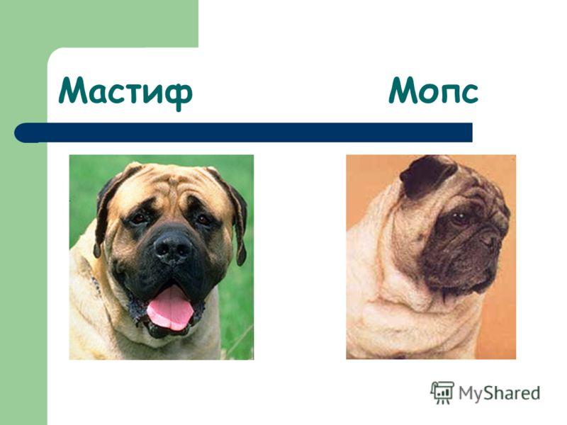 Мастиф Мопс