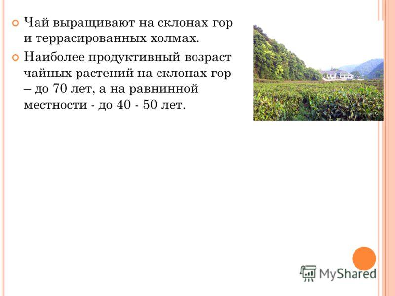 Чай выращивают на склонах гор и террасированных холмах. Наиболее продуктивный возраст чайных растений на склонах гор – до 70 лет, а на равнинной местности - до 40 - 50 лет.