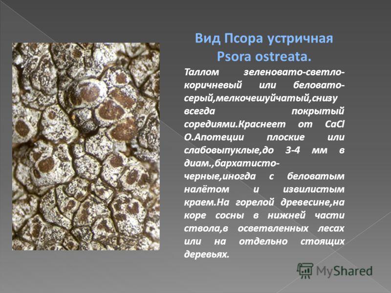 Вид Псора устричная Psora ostreata. Таллом зеленовато-светло- коричневый или беловато- серый,мелкочешуйчатый,снизу всегда покрытый соредиями.Краснеет от CaCl O.Апотеции плоские или слабовыпуклые,до 3-4 мм в диам.,бархатисто- черные,иногда с беловатым