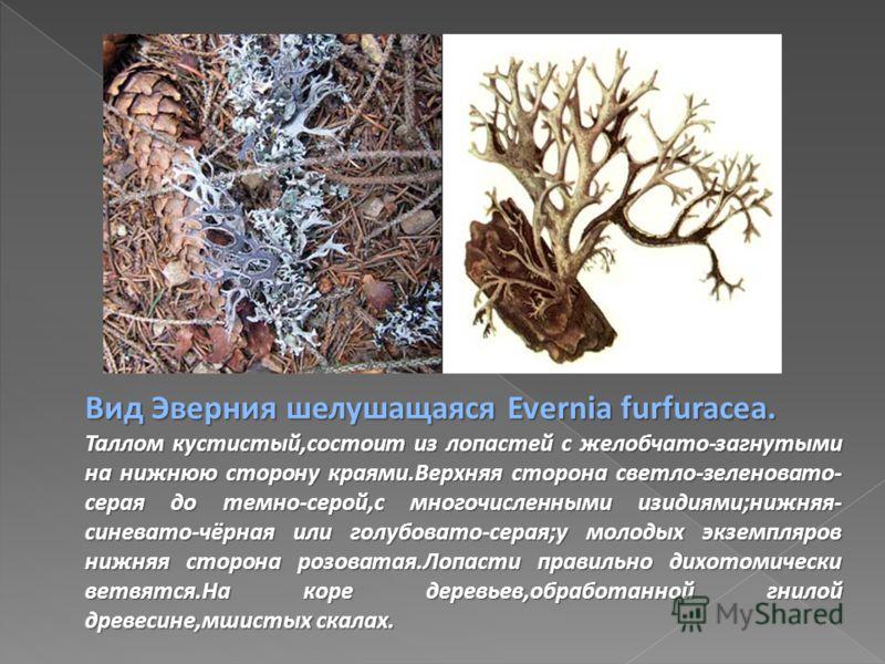 Вид Эверния шелушащаяся Evernia furfuracea. Таллом кустистый,состоит из лопастей с желобчато-загнутыми на нижнюю сторону краями.Верхняя сторона светло-зеленовато- серая до темно-серой,с многочисленными изидиями;нижняя- синевато-чёрная или голубовато-