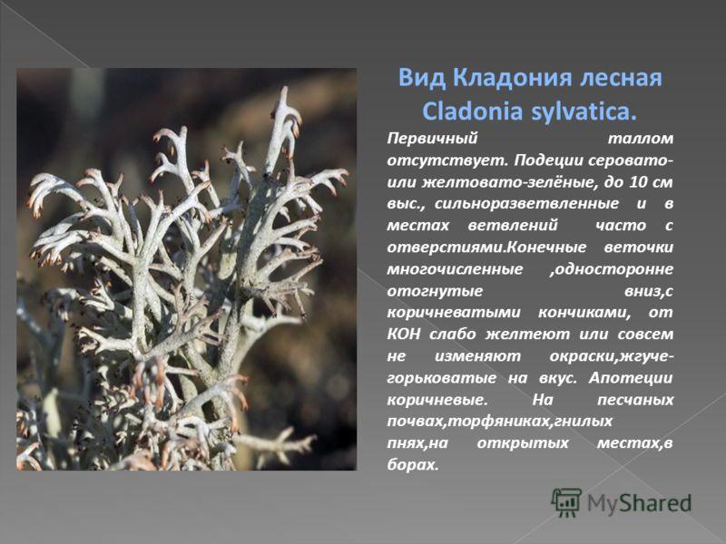 Вид Кладония лесная Cladonia sylvatica. Первичный таллом отсутствует. Подеции серовато- или желтовато-зелёные, до 10 см выс., сильноразветвленные и в местах ветвлений часто с отверстиями.Конечные веточки многочисленные,односторонне отогнутые вниз,с к