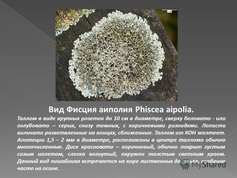 Вид Фисция аиполия Phiscea aipolia. Таллом в виде крупных розеток до 10 см в диаметре, сверху беловато - или голубовато – серых, снизу темных, с коричневыми ризоидами. Лопасти вильчато разветвленные на концах, сближенные. Таллом от КОН желтеет. Апоте