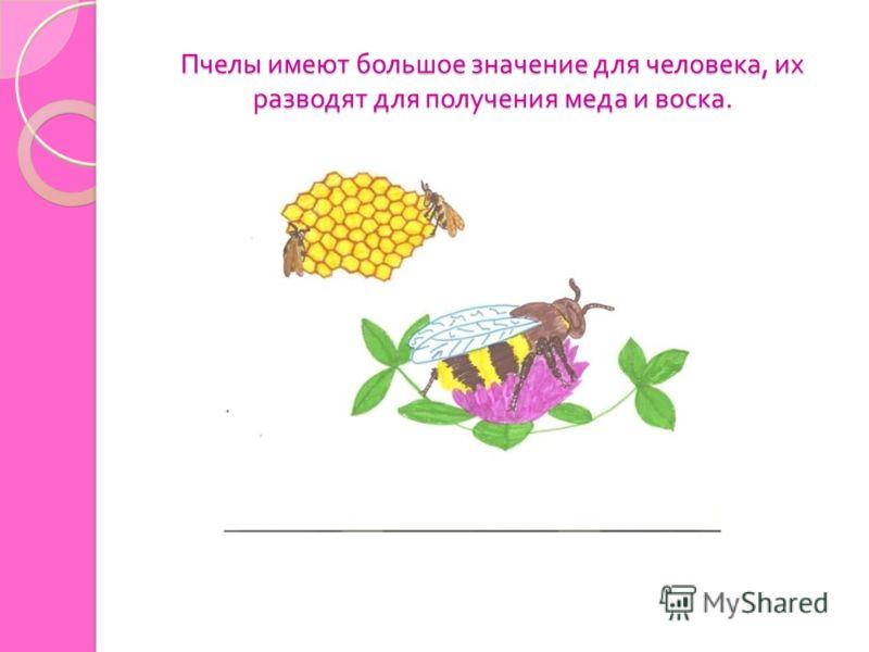 Пчелы имеют большое значение для человека, их разводят для получения меда и воска.