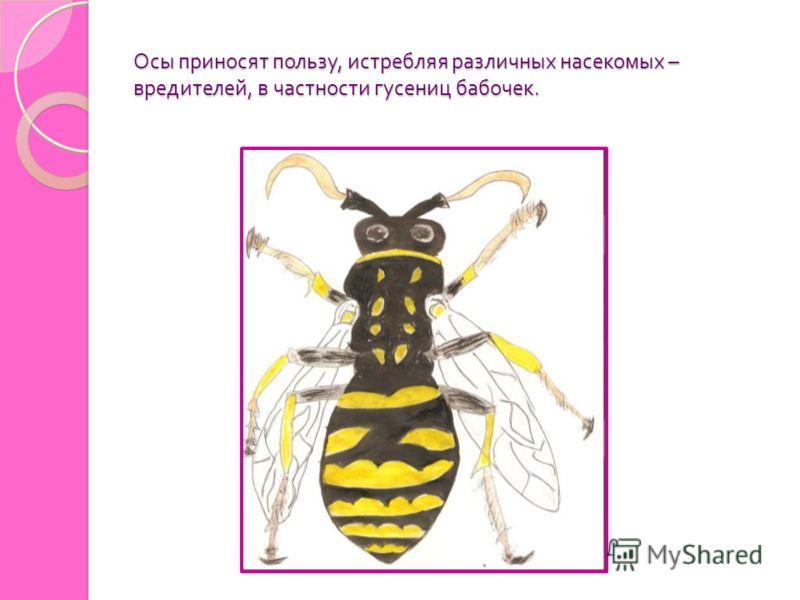 Осы приносят пользу, истребляя различных насекомых – вредителей, в частности гусениц бабочек.