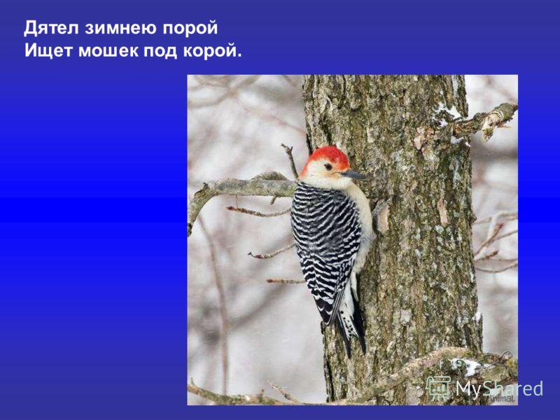 Дятел зимнею порой Ищет мошек под корой. Дятел зимнею порой ищет мошек под корой.