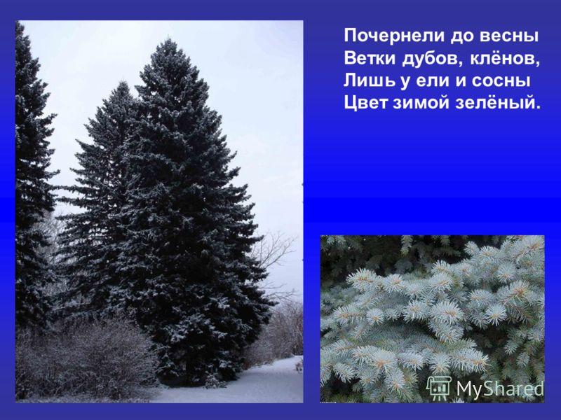 Почернели до весны Ветки дубов, клёнов, Лишь у ели и сосны Цвет зимой зелёный. Почернели до весны ветки дубов, клёнов, лишь у ели и сосны цвет зимой зелёный.