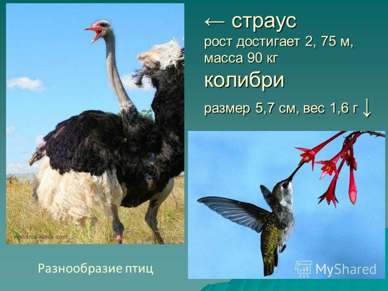 страус рост достигает 2, 75 м, масса 90 кг колибри размер 5,7 см, вес 1,6 г страус рост достигает 2, 75 м, масса 90 кг колибри размер 5,7 см, вес 1,6 г Разнообразие птиц