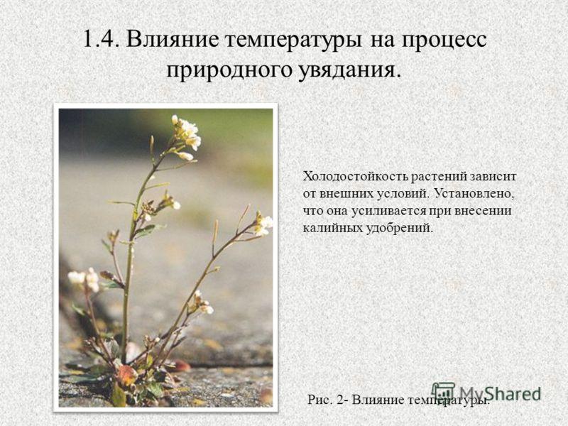 1.4. Влияние температуры на процесс природного увядания. Холодостойкость растений зависит от внешних условий. Установлено, что она усиливается при внесении калийных удобрений. Рис. 2- Влияние температуры.