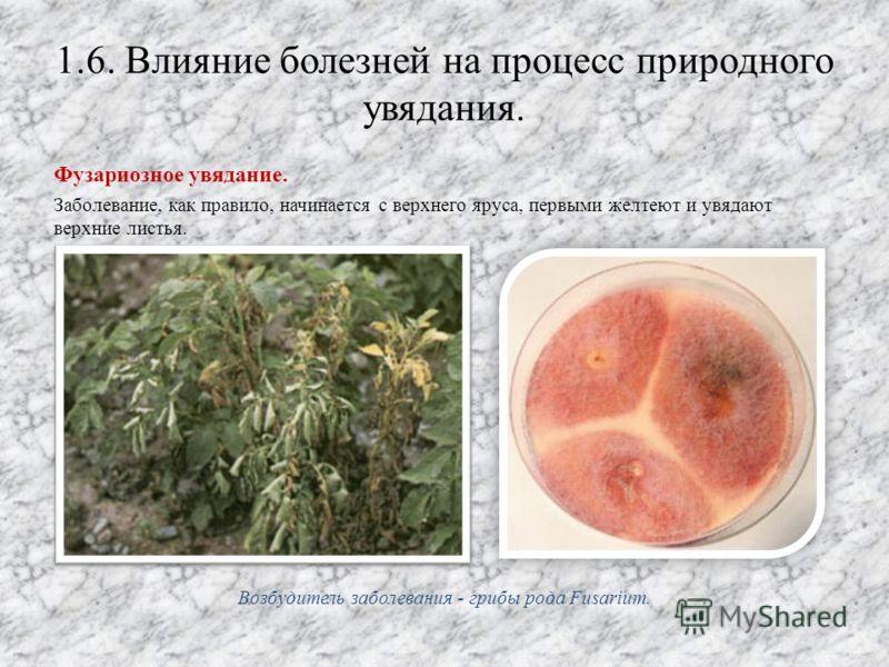 1.6. Влияние болезней на процесс природного увядания. Фузариозное увядание. Заболевание, как правило, начинается с верхнего яруса, первыми желтеют и увядают верхние листья. Возбудитель заболевания - грибы рода Fusarium.