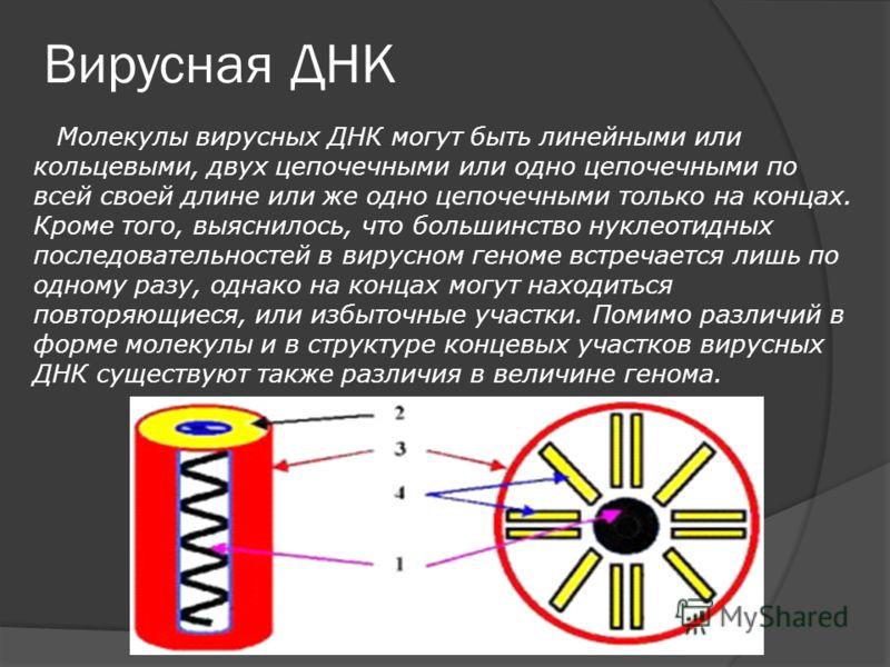 Вирусная ДНК Молекулы вирусных ДНК могут быть линейными или кольцевыми, двух цепочечными или одно цепочечными по всей своей длине или же одно цепочечными только на концах. Кроме того, выяснилось, что большинство нуклеотидных последовательностей в вир