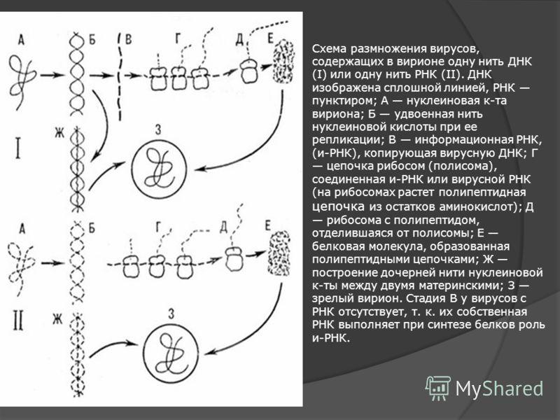 Схема размножения вирусов, содержащих в вирионе одну нить ДНК (I) или одну нить РНК (II). ДНК изображена сплошной линией, РНК пунктиром; А нуклеиновая к-та вириона; Б удвоенная нить нуклеиновой кислоты при ее репликации; В информационная РНК, (и-РНК)
