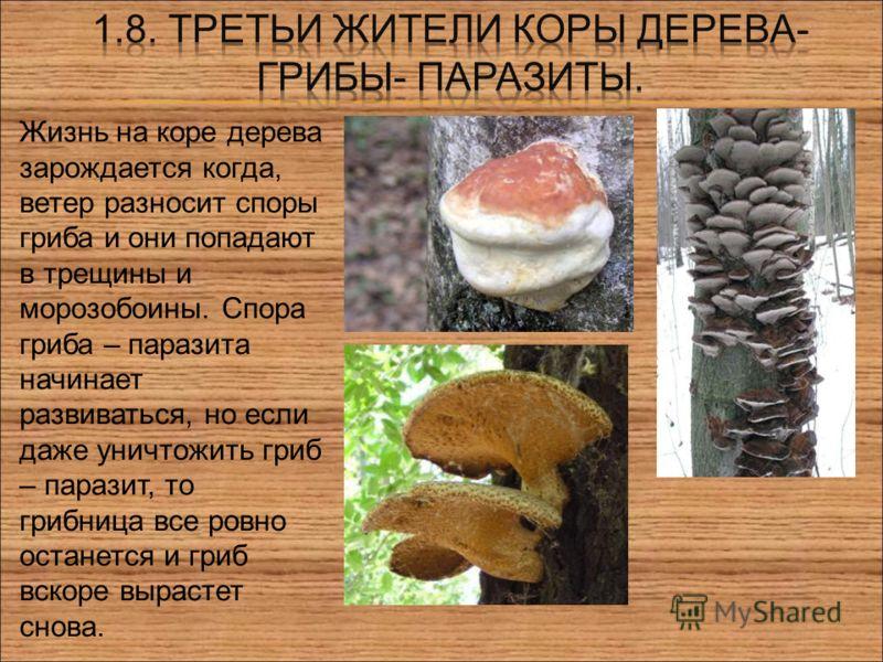 . Жизнь на коре дерева зарождается когда, ветер разносит споры гриба и они попадают в трещины и морозобоины. Спора гриба – паразита начинает развиваться, но если даже уничтожить гриб – паразит, то грибница все ровно останется и гриб вскоре вырастет с
