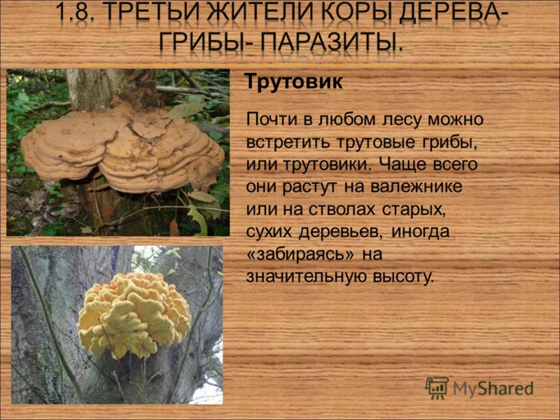 Трутовик Почти в любом лесу можно встретить трутовые грибы, или трутовики. Чаще всего они растут на валежнике или на стволах старых, сухих деревьев, иногда «забираясь» на значительную высоту.