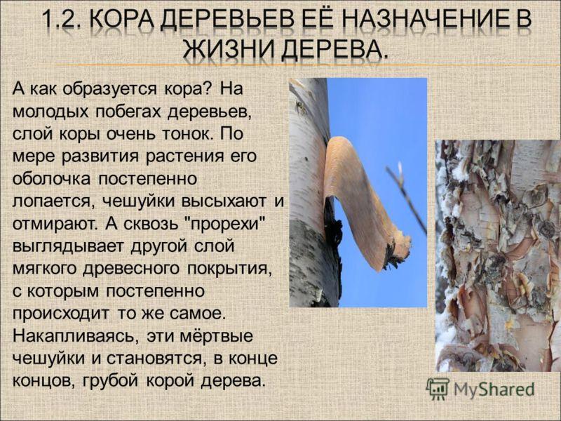 . А как образуется кора? На молодых побегах деревьев, слой коры очень тонок. По мере развития растения его оболочка постепенно лопается, чешуйки высыхают и отмирают. А сквозь
