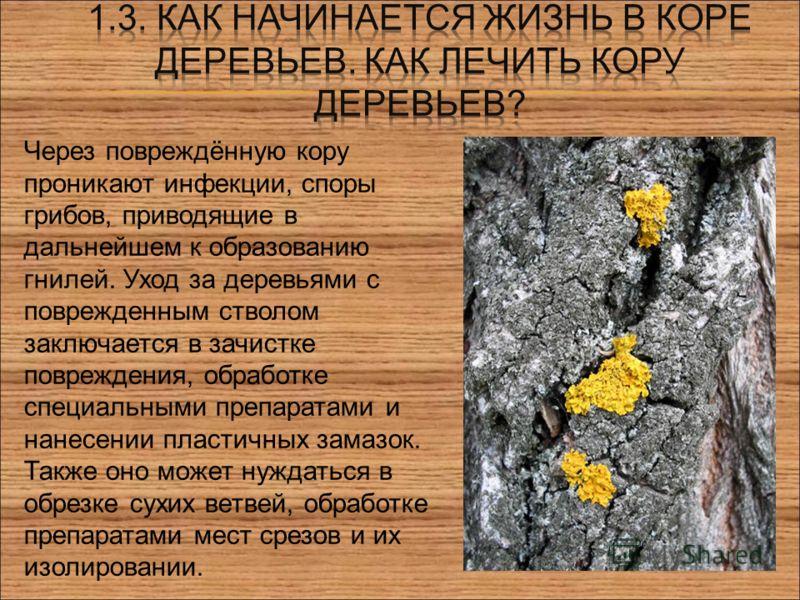 Через повреждённую кору проникают инфекции, споры грибов, приводящие в дальнейшем к образованию гнилей. Уход за деревьями с поврежденным стволом заключается в зачистке повреждения, обработке специальными препаратами и нанесении пластичных замазок. Та