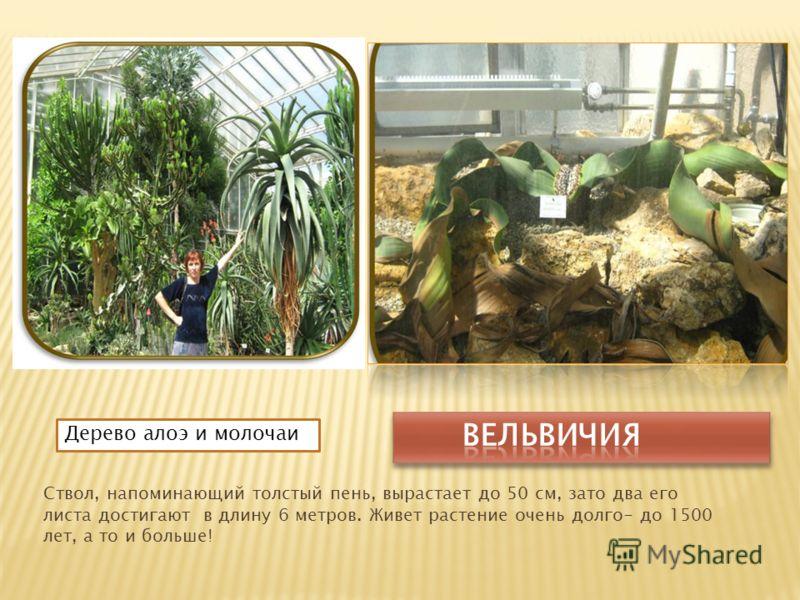 Ствол, напоминающий толстый пень, вырастает до 50 см, зато два его листа достигают в длину 6 метров. Живет растение очень долго- до 1500 лет, а то и больше! Дерево алоэ и молочаи