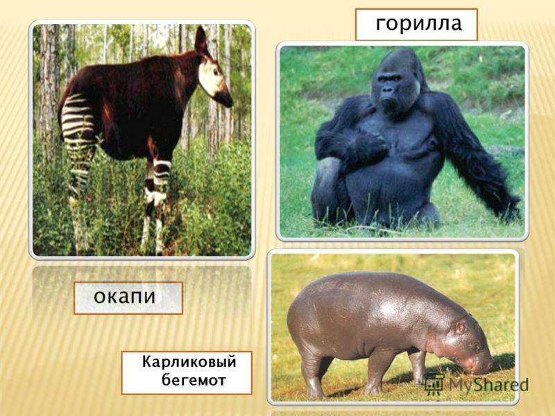 окапи горилла Карликовый бегемот