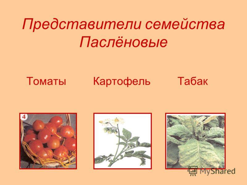 Представители семейства Паслёновые Томаты Картофель Табак