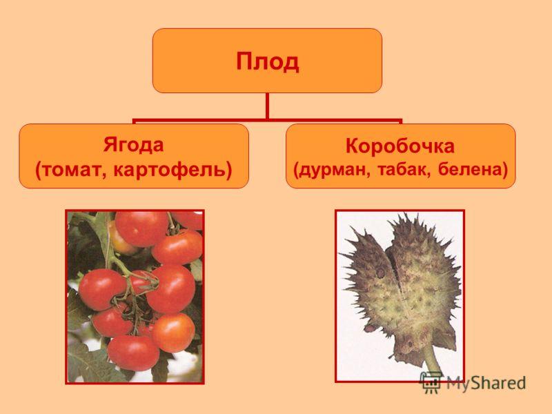 Плод Ягода (томат, картофель) Коробочка (дурман, табак, белена)