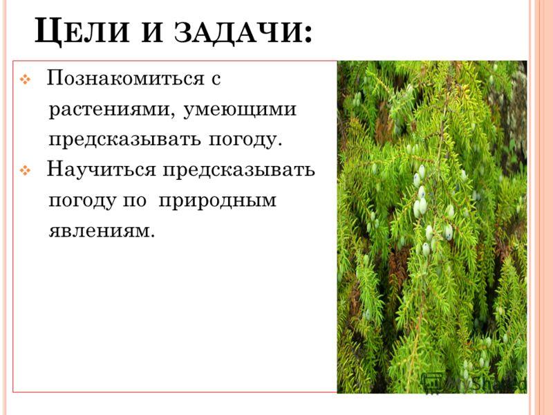 Ц ЕЛИ И ЗАДАЧИ : Познакомиться с растениями, умеющими предсказывать погоду. Научиться предсказывать погоду по природным явлениям.