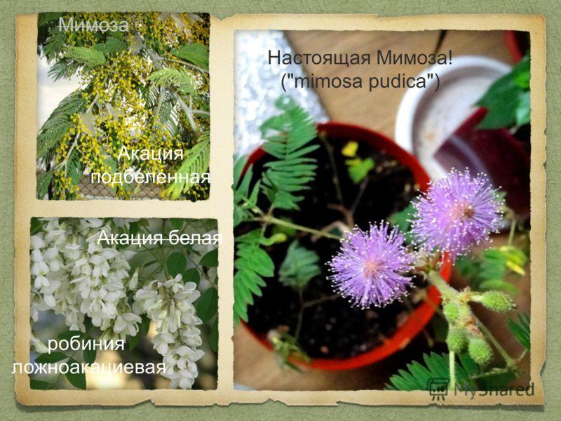 Настоящая Мимоза! (mimosa pudica) Акация белая робиния ложноакациевая Мимоза Акация подбеленная
