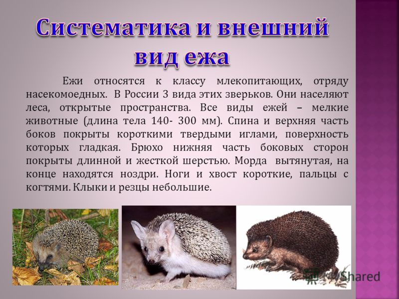 Ежи относятся к классу млекопитающих, отряду насекомоедных. В России 3 вида этих зверьков. Они населяют леса, открытые пространства. Все виды ежей – мелкие животные (длина тела 140- 300 мм). Спина и верхняя часть боков покрыты короткими твердыми игла