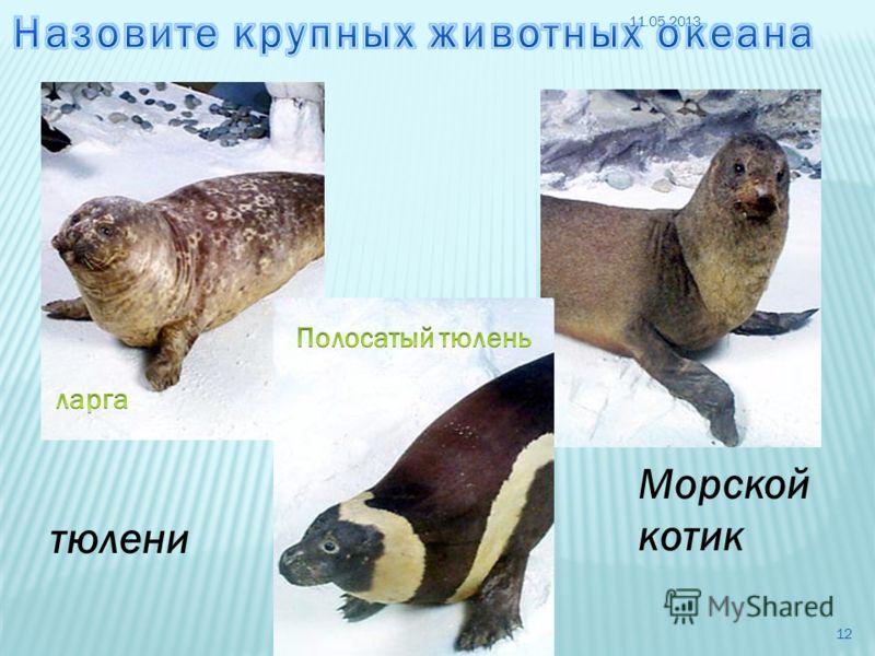 Морской котик тюлени 11.05.2013 12