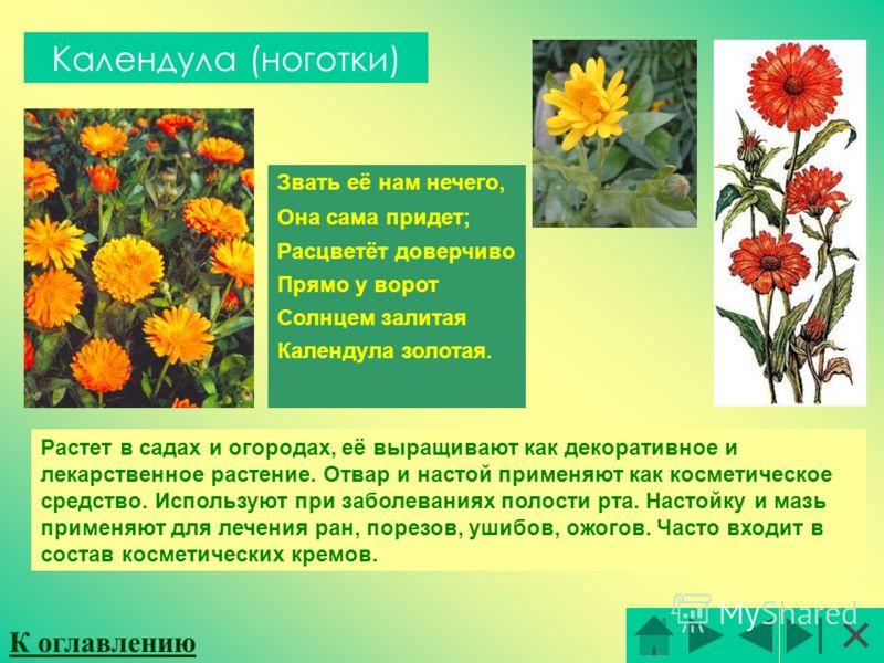 Календула (ноготки) Звать её нам нечего, Она сама придет; Расцветёт доверчиво Прямо у ворот Солнцем залитая Календула золотая. Растет в садах и огородах, её выращивают как декоративное и лекарственное растение. Отвар и настой применяют как косметичес