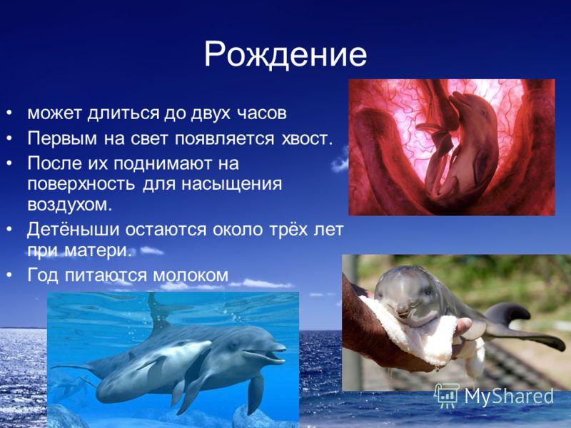 Рождение может длиться до двух часов Первым на свет появляется хвост. После их поднимают на поверхность для насыщения воздухом. Детёныши остаются около трёх лет при матери. Год питаются молоком