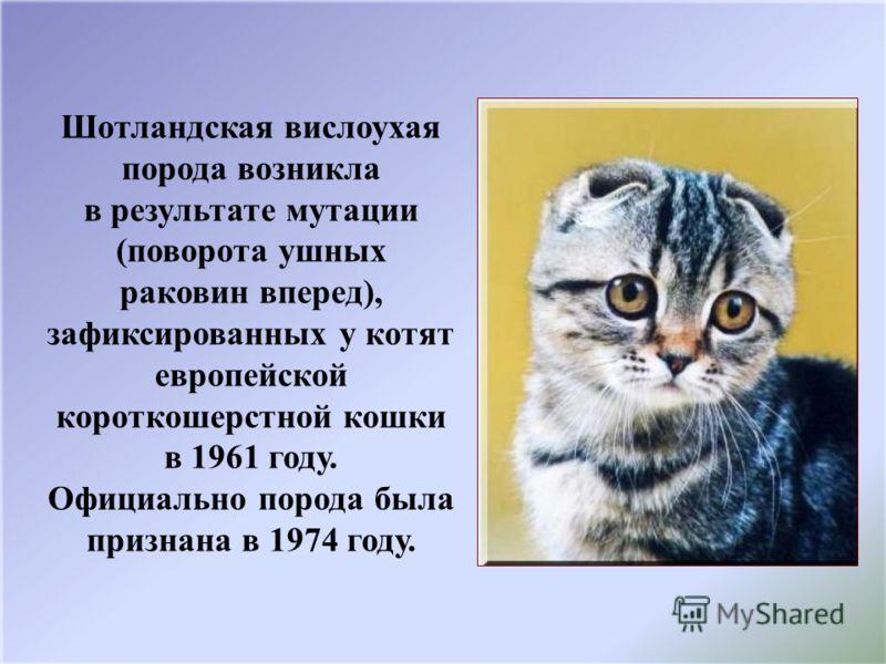 Шотландская вислоухая порода возникла в результате мутации (поворота ушных раковин вперед), зафиксированных у котят европейской короткошерстной кошки в 1961 году. Официально порода была признана в 1974 году.