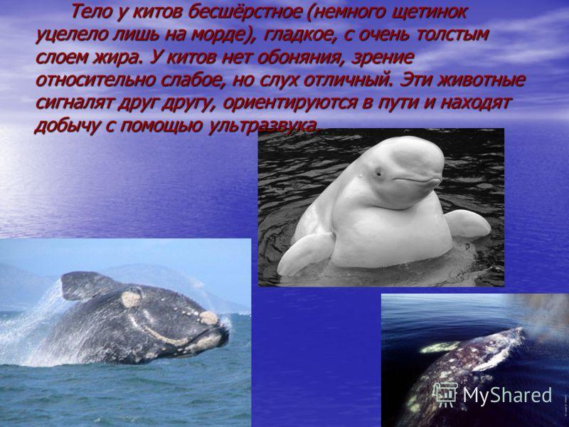 Тело у китов бесшёрстное (немного щетинок уцелело лишь на морде), гладкое, с очень толстым слоем жира. У китов нет обоняния, зрение относительно слабое, но слух отличный. Эти животные сигналят друг другу, ориентируются в пути и находят добычу с помощ