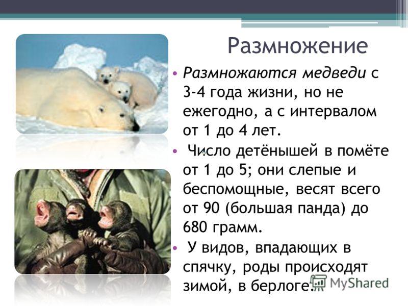 Размножение Размножаются медведи с 3-4 года жизни, но не ежегодно, а с интервалом от 1 до 4 лет. Число детёнышей в помёте от 1 до 5; они слепые и бесп
