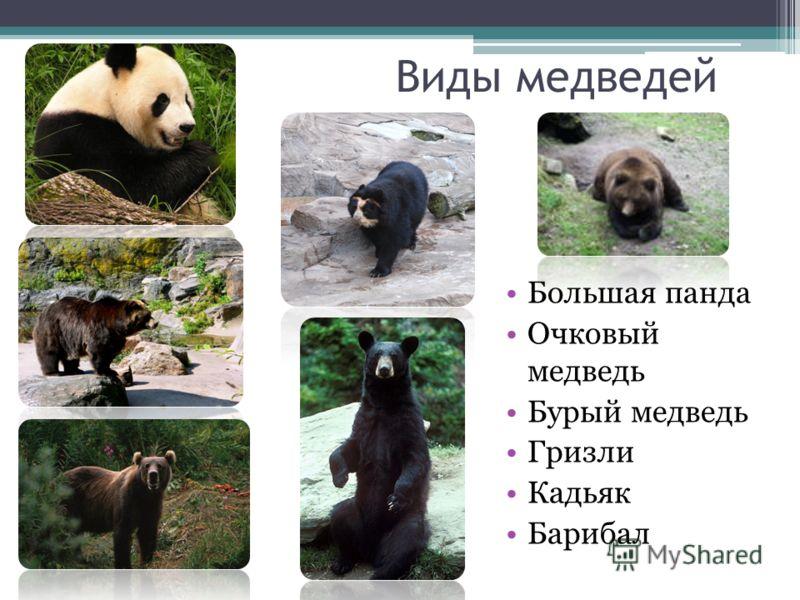 Виды медведей Большая панда Очковый медведь Бурый медведь Гризли Кадьяк Барибал