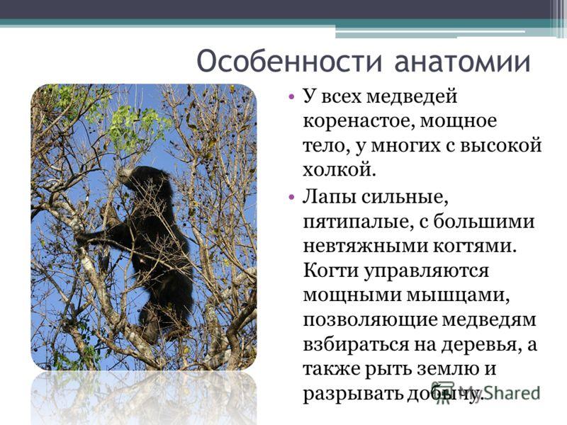 Особенности анатомии У всех медведей коренастое, мощное тело, у многих с высокой холкой. Лапы сильные, пятипалые, с большими невтяжными когтями. Когти управляются мощными мышцами, позволяющие медведям взбираться на деревья, а также рыть землю и разры