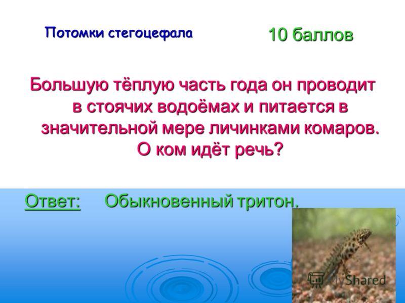 Потомки стегоцефала Большую тёплую часть года он проводит в стоячих водоёмах и питается в значительной мере личинками комаров. О ком идёт речь? Ответ: Обыкновенный тритон. 10 баллов